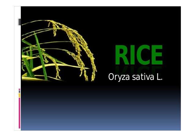 RICE  Oryza sativa L.