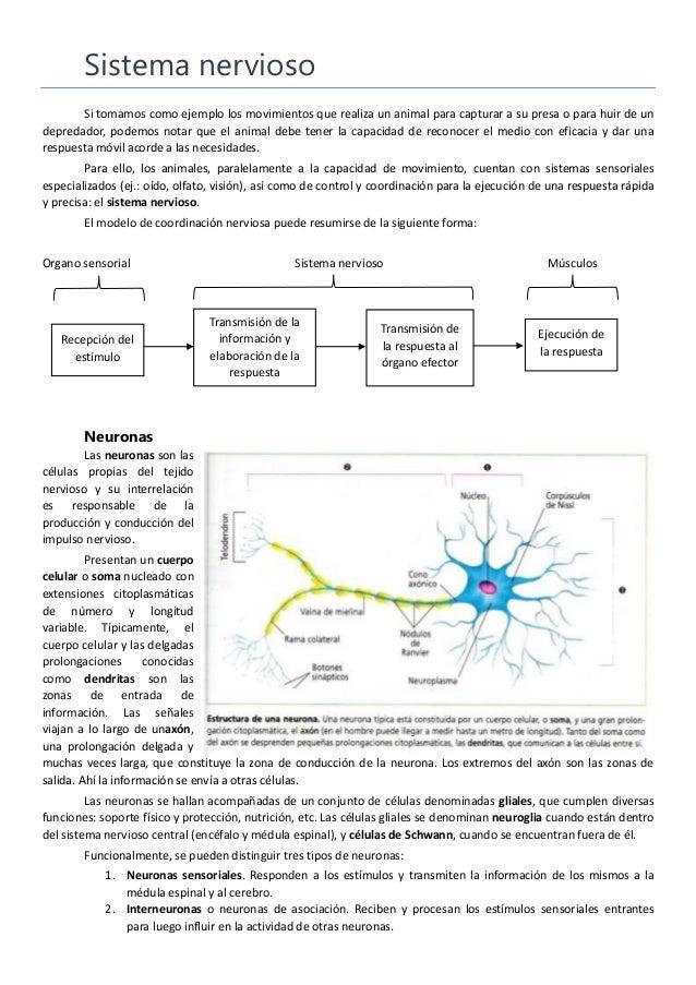 Sistema nervioso Si tomamos como ejemplo los movimientos que realiza un animal para capturar a su presa o para huir de un ...