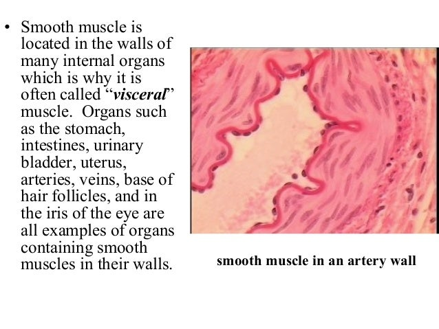 4. smooth muscle tissue, Muscles