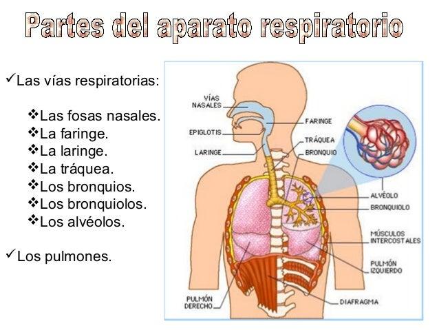 Resultado de imagen de aparato respiratorio