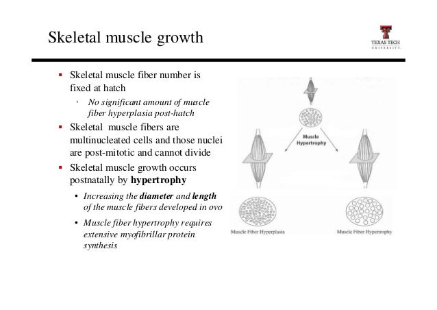 Muscle fiber cell growth