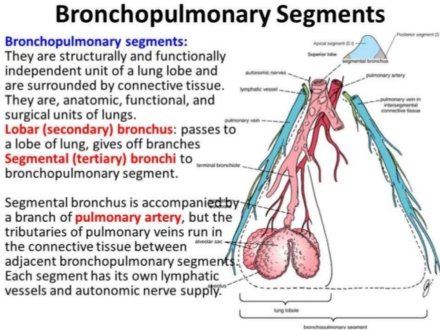 Anatomy of trachea & lungs