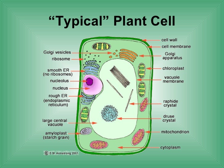 cells and their parts Cell wall: a wall on the outside of the membrane, which, in combination with the  vacuole (as described below), helps the plant cell maintain its.