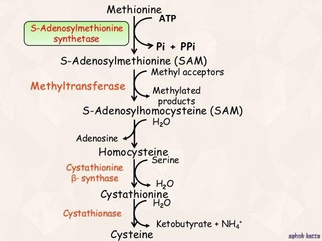 metabolism of sulfur containing amino acids  methionine