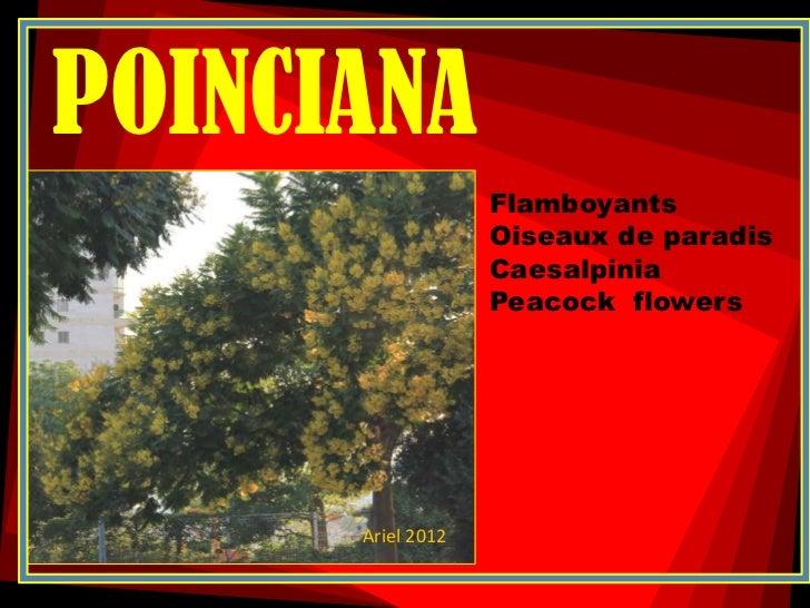 POINCIANA                   Flamboyants                   Oiseaux de paradis                   Caesalpinia                ...