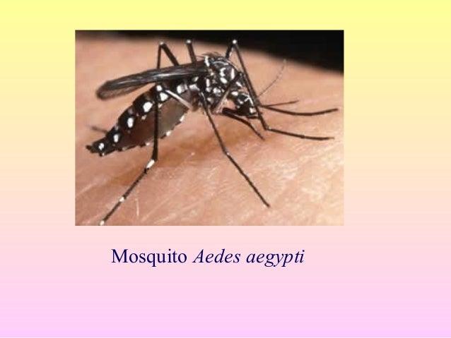 Mosquito AEDES • Contenedores de criaderos en casa • Crece en: – Agua limpia – En toda el agua almacenada para beber, lava...