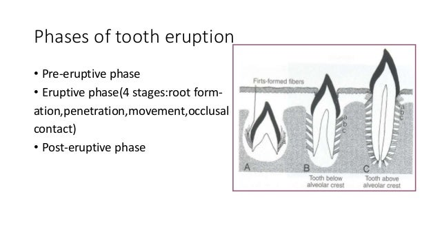 486 theories of tooth eruption eruption anatomical crown clinical crown 4 phases of tooth ccuart Choice Image