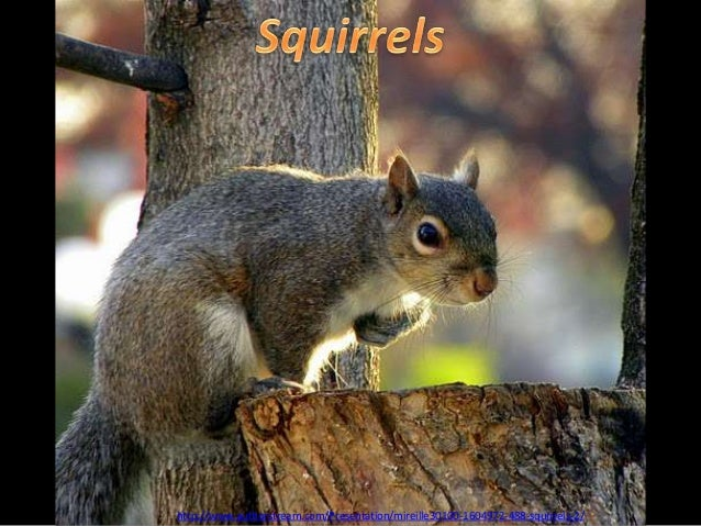 http://www.authorstream.com/Presentation/mireille30100-1604972-488-squirrels-2/