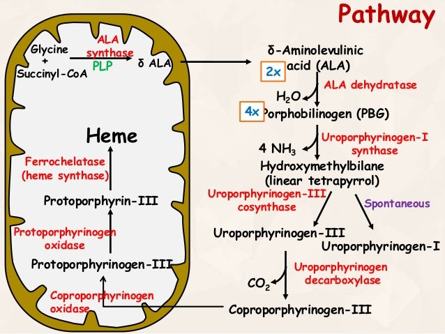 Heme Synthesis : Synthesis of Porphyrin Molecule
