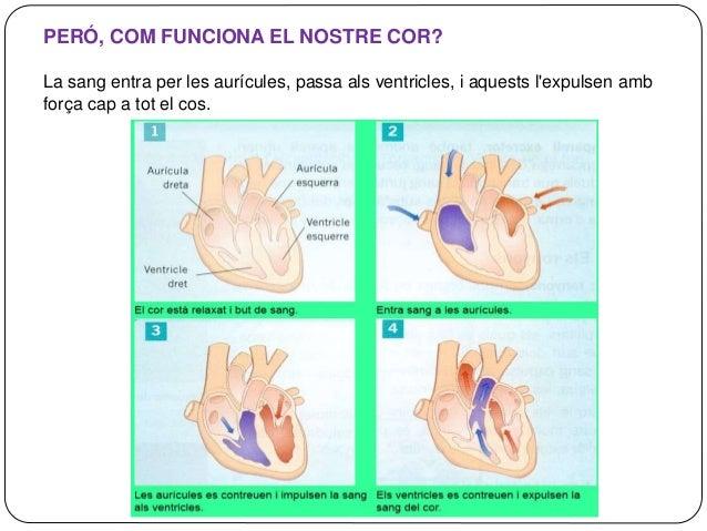 LA DOBLE CIRCULACIÓ DE LA SANG La sang circula per tot el cos fent dos circuits: • La circulació menor. La sang va del cor...