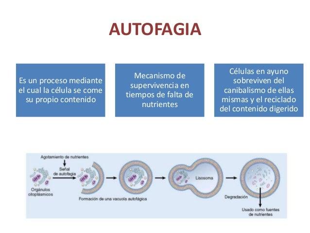 AUTOFAGIA Es un proceso mediante el cual la célula se come su propio contenido Mecanismo de supervivencia en tiempos de fa...