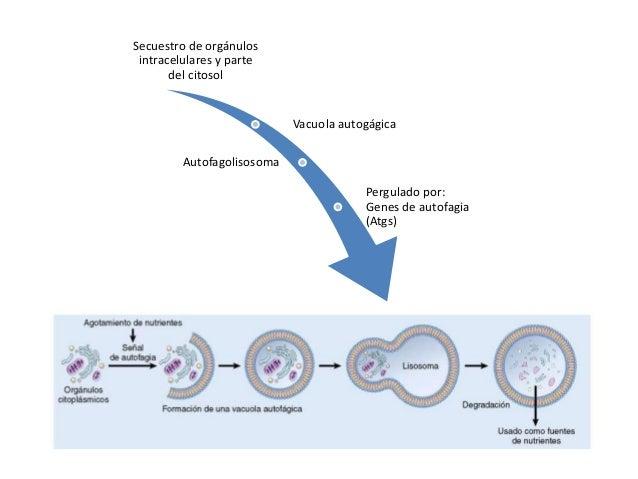 Secuestro de orgánulos intracelulares y parte del citosol Vacuola autogágica Autofagolisosoma Pergulado por: Genes de auto...