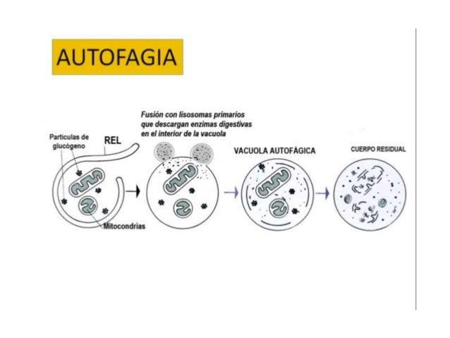 HETEROFAGIA Consiste en la digestión del material de origen exógeno, que se incorpora a la célula por pinocitosis o fagoci...