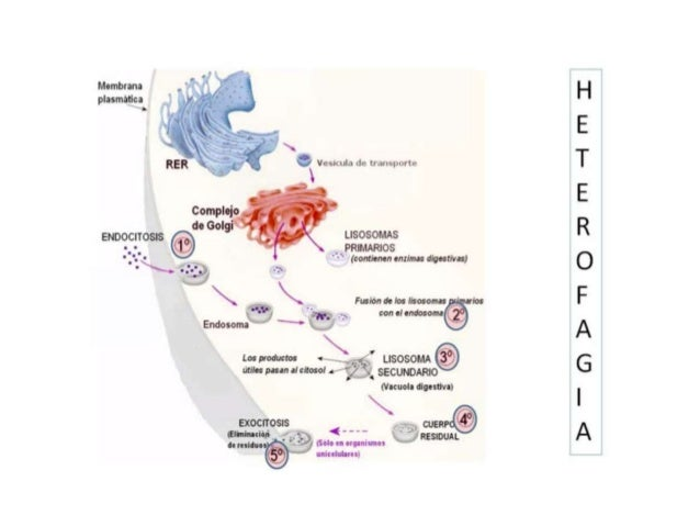 Mecanismos de las acumulaciones intracelulares