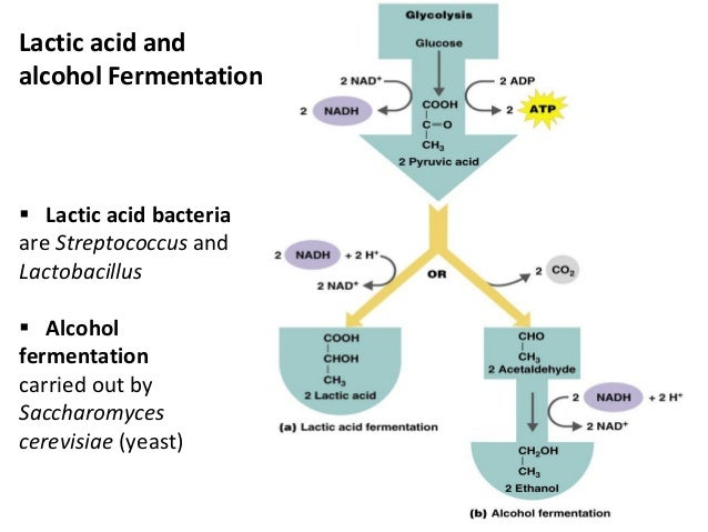 Image result for fermentation bacteria