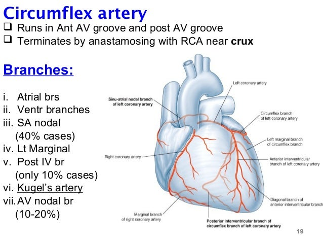 4 blood supply of heart