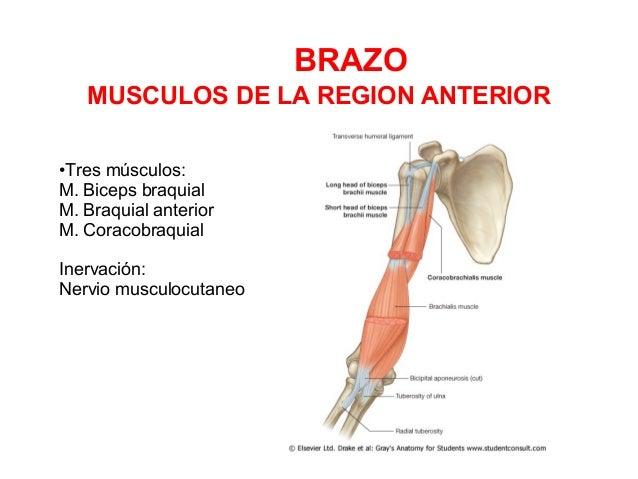 4) brazo codo - antebrazo - mano
