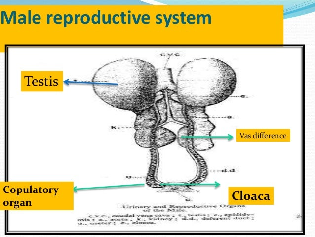 Female reproductive system of fowl egg formation and egg structure 15 male reproductive system ccuart Choice Image