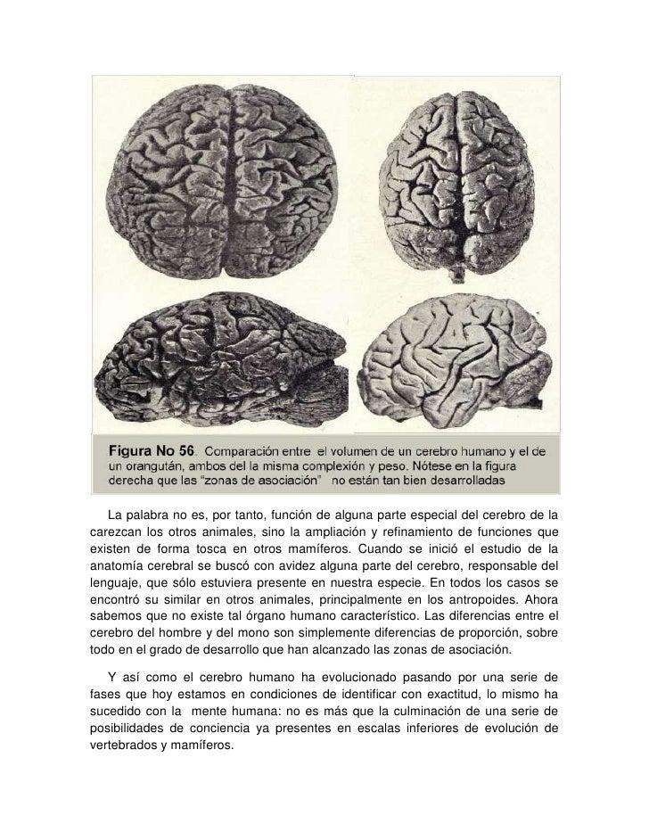 4 el cerebro mamífero, de los monos y del hombre