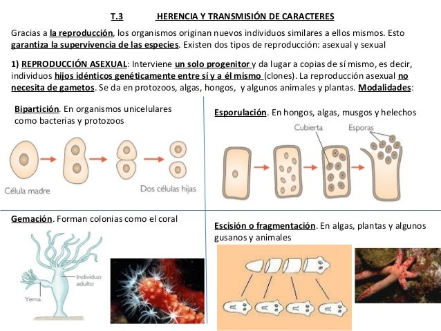4 Eso T 3 Herencia Caracteres