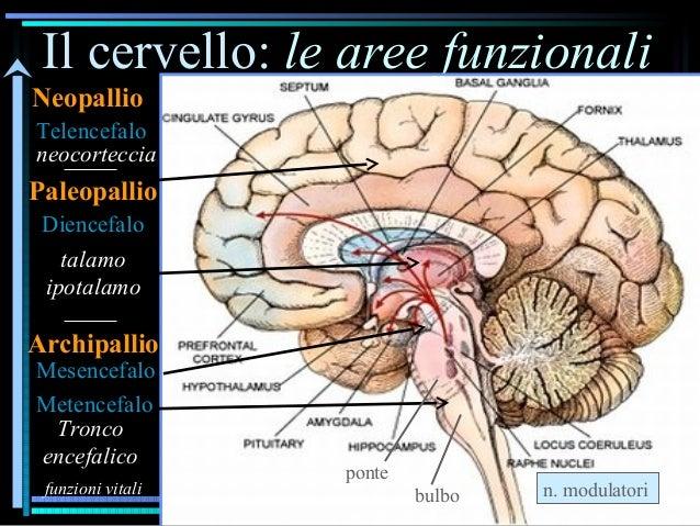 Il cervello: le aree funzionali Metencefalo Mesencefalo Diencefalo neocorteccia talamo ipotalamo Telencefalo funzioni vita...