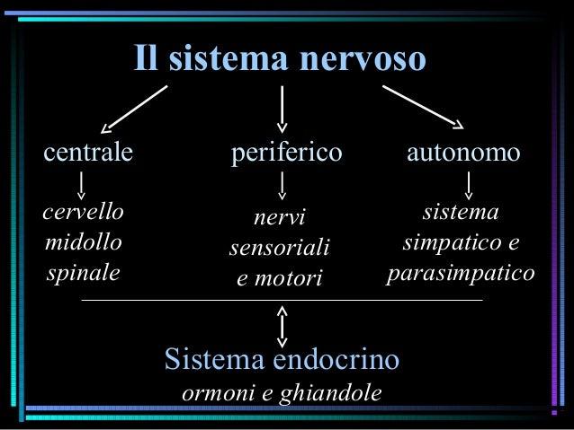 Il sistema nervoso centrale periferico autonomo Sistema endocrino ormoni e ghiandole cervello midollo spinale nervi sensor...