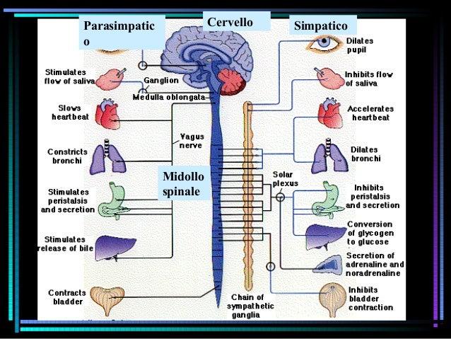 Parasimpatic o SimpaticoCervello Midollo spinale