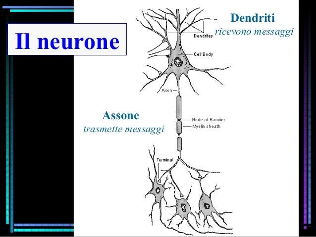 Il neurone Dendriti ricevono messaggi Assone trasmette messaggi