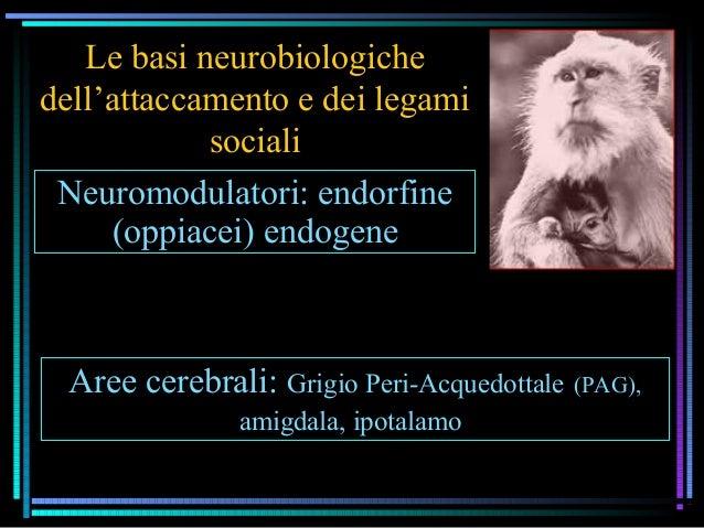 Le basi neurobiologiche dell'attaccamento e dei legami sociali Neuromodulatori: endorfine (oppiacei) endogene Aree cerebra...