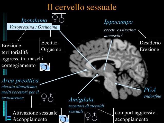 Il cervello sessuale Area preottica elevato dimorfismo, molti recettori per il testosterone Attivazione sessuale Accoppiam...