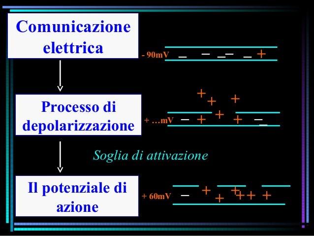 Comunicazione elettrica Il potenziale di azione Processo di depolarizzazione _ + + + + ++ __ _ _ _ _ _ + _ ++ ++ + + - 90m...