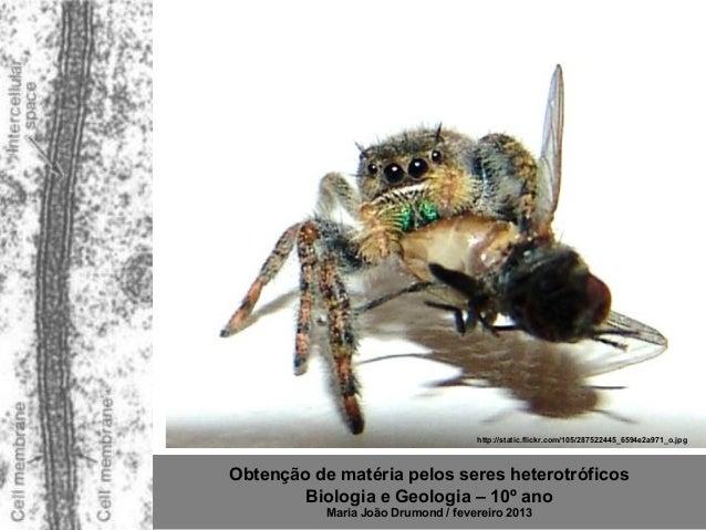 http://static.flickr.com/105/287522445_6594e2a971_o.jpgObtenção de matéria pelos seres heterotróficos        Biologia e Ge...