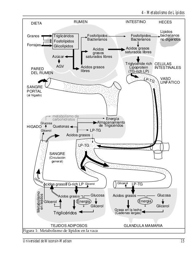 4 metabolismo de lipidos vacas lecheras
