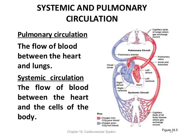 Circulation and Heart Valves  Boundless Anatomy and