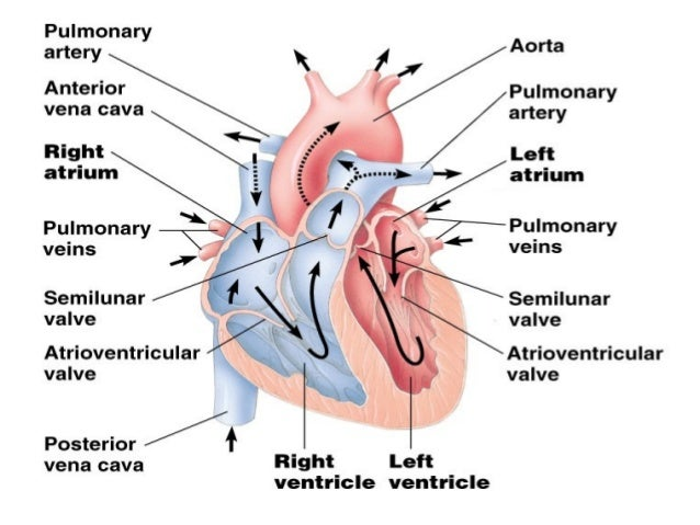 Ppt on human circulatory system functions ccuart Choice Image