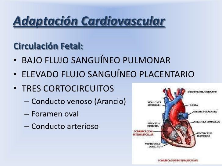 Adaptación Cardiovascular<br />Circulación Fetal:<br />BAJO FLUJO SANGUÍNEO PULMONAR<br />ELEVADO FLUJO SANGUÍNEO PLACENTA...