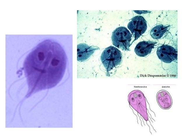 Parasitologia - Giardia lamblia
