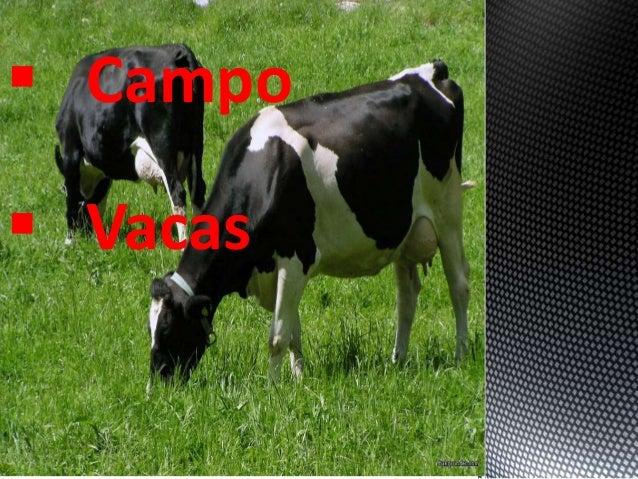  Vacas  Campo