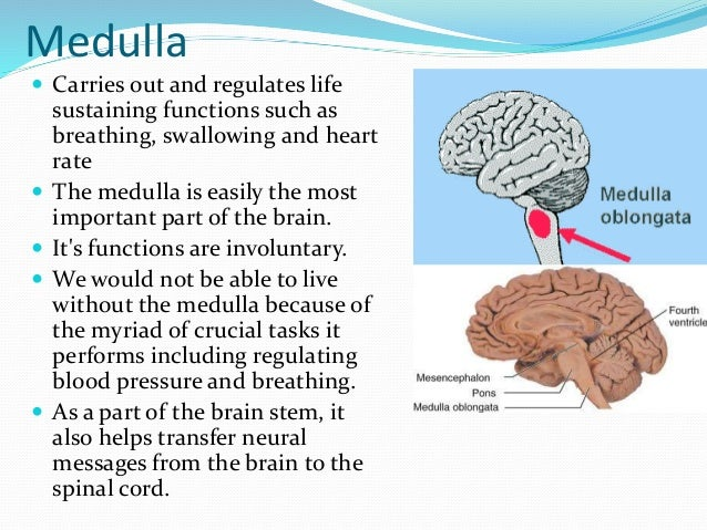 Medulla reticular formation thalamus and hippocampus medulla carries out and regulates life sustaining functions such as breathing swallowing and heart ccuart Gallery