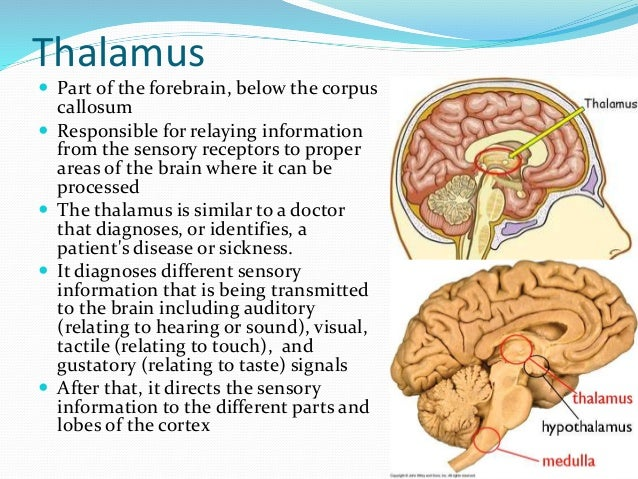 Medulla reticular formation thalamus and hippocampus 5 thalamus part ccuart Gallery