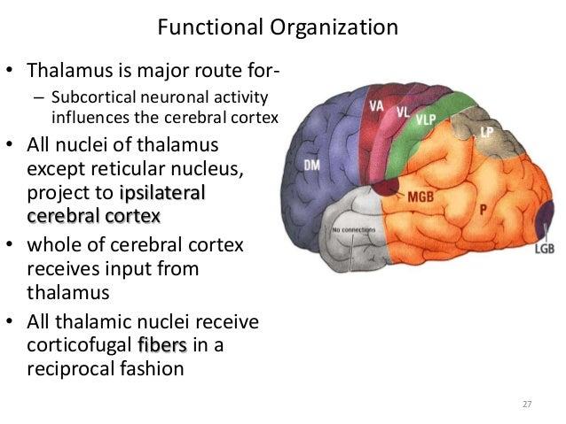 Functional anatomy of the brain