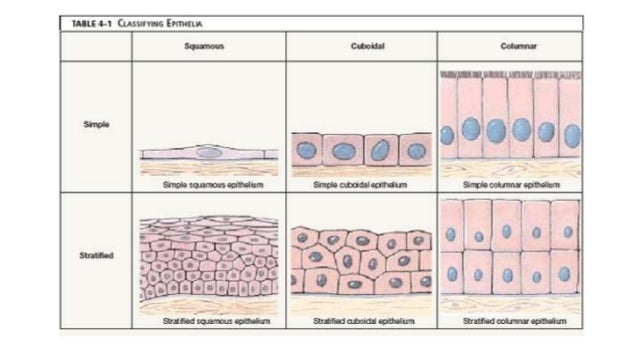 types of epithelial tissue As the name implies, connective tissue serves a connecting function it supports and binds other tissues in the body unlike epithelial tissue, which has.