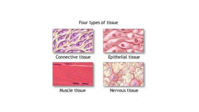 four basic tissue types and their Introduction four different types of tissue make up all the organs and tissues in  the body these are: epithelia - covering cells connective tissue - 'space filling'.