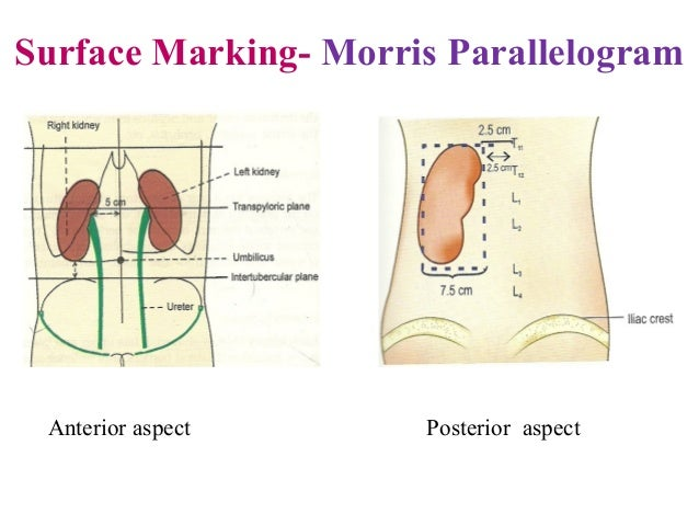 Urinary System Anatomy Ppt