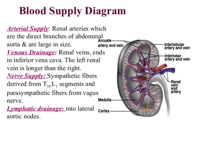 Anatomy of urinary system ppt