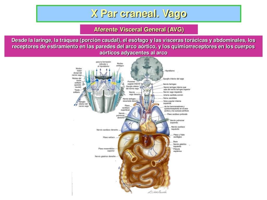 Nervio Vago X