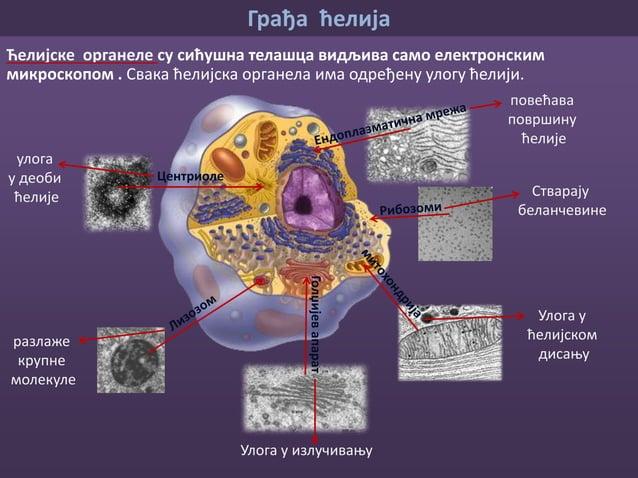 Грађа ћелија Митохондрија је једна од најважнијих ћеијских органела. митохондрије Митохондрија посматрана електронским мик...