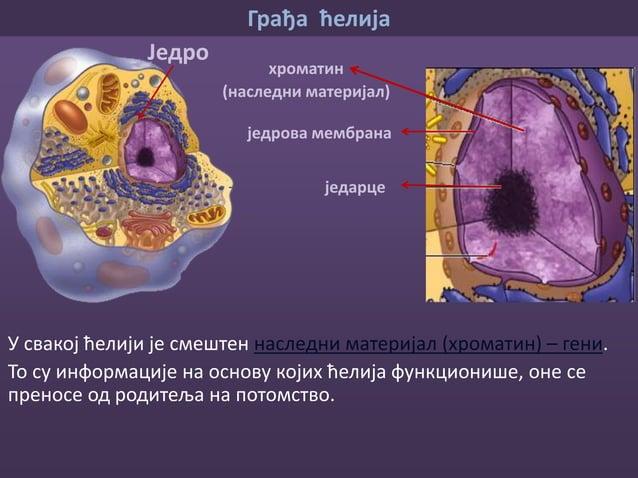 Грађа ћелија Наследни материјал Модел бактеријске ћелије • Организми код којих је наследни материјал спакован у једру нази...
