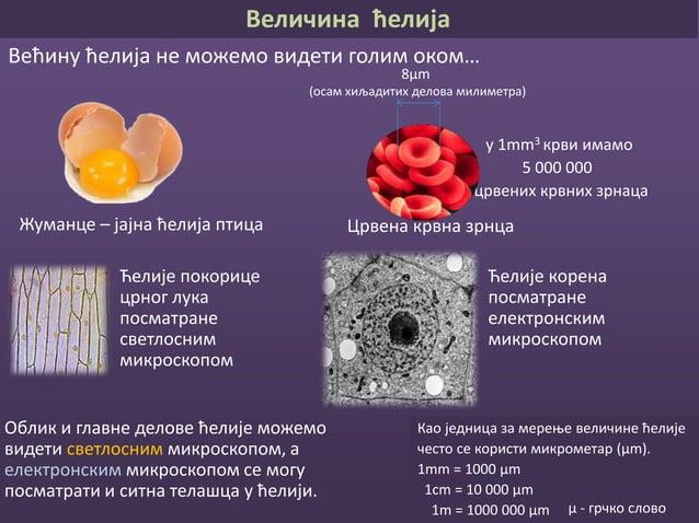 Грађа ћелија Ћелијска мембрана Цитоплазма Једро Ћелијске органеле Модел животињске ћелије Модел биљне ћелије
