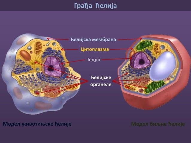 • Обавија ћелију • Даје облик • Штити • Селективно је пропустљива јер има способност да пропушта одређене материје које ће...